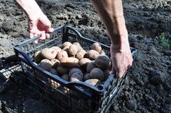 Plantera potatisar och tomater i chernozem Arkivfoton