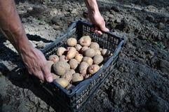 Plantera potatisar och tomater i chernozem Arkivbilder