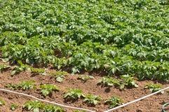 Plantera potatisar på fruktträdgården Royaltyfria Foton