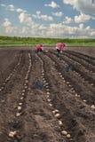 Plantera potatisar på hans land i byn Royaltyfri Bild