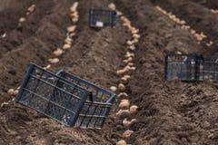 Plantera potatisar på hans land i byn Fotografering för Bildbyråer