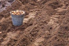 Plantera potatisar på våren Fotografering för Bildbyråer