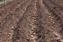 Plantera potatisar på våren Royaltyfria Bilder