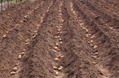 Plantera potatisar på våren Arkivbild