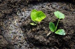 Plantera squashväxten Arkivbild