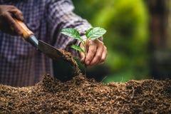 Plantera starka plantor för en trädpassionfrukt som planterar det unga trädet vid den gamla handen på jord som omsorg- och räddni fotografering för bildbyråer