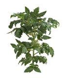 plantera tomaten Arkivfoto