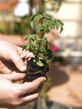plantera tomaten Royaltyfri Fotografi