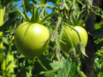 plantera tomaten Royaltyfri Foto