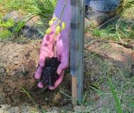 plantera tomaten Trädgårdsmästare som planterar tomaten Ung växt av tomaten i handen av bonden Royaltyfria Foton