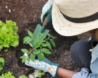 plantera tomatkvinnan Fotografering för Bildbyråer