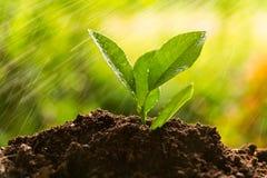 Plantera trädet, grodd Royaltyfri Bild