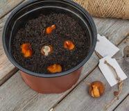Plantera tulpankulor i en kruka Arkivfoto