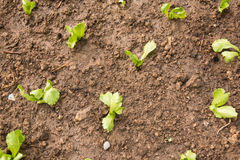 Plantera unga plantor av grönsallatsallad Arkivfoto
