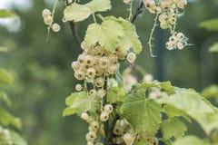 Plantera upp för den Tyskland för jordbruksprodukter för den mogna för bärfrukt för den vita vinbäret trädgården bio organiska de Royaltyfria Bilder