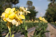 Planterade Canna blommor Arkivfoto