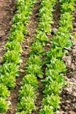Planterade rader av havresallad, Valerianellalocusta Royaltyfri Fotografi