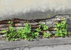 Planterar fullvuxet ut ur väggen Arkivbilder