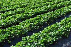 planterar jordgubben Fotografering för Bildbyråer