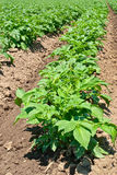 planterar potatisen Arkivfoto