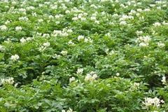 planterar potatisen Royaltyfria Foton