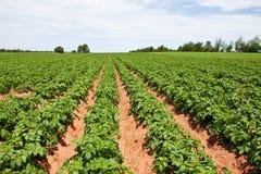 planterar potatisen Royaltyfri Fotografi