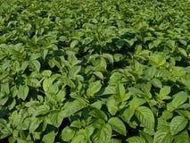 planterar potatisen Fotografering för Bildbyråer