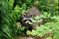 planterar raccoonen Royaltyfri Bild