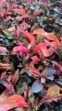 planterar red Fotografering för Bildbyråer