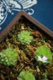 planterar suckulent Royaltyfri Foto