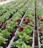 Planterar till salu i växthuset i Holland Arkivfoton