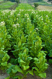 planterar tobak Royaltyfria Bilder