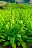 planterar tobak Royaltyfri Bild