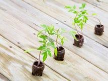 planterar tomaten Arkivfoto