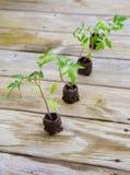 planterar tomaten Royaltyfri Foto
