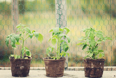 planterar tomaten royaltyfria foton