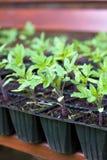 planterar tomaten Arkivfoton