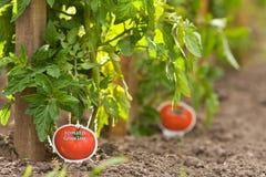 planterar tomaten Arkivbilder