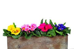 planterprimrosefjäder Royaltyfri Foto