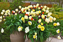 Planters with tulips in springtime. Red, blue and golden tulips in large ceramic planters on a flagged flagged patio Stock Image