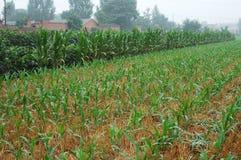 Plantes 8 de maïs Photographie stock libre de droits
