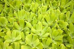 Plantes aquatiques Image libre de droits