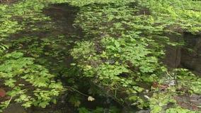 Plantes aquatiques dans Maninska Tiesnava, Slovaquie banque de vidéos