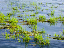 Plantes aquatiques sur le lac Erhai Image libre de droits