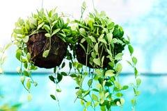 Plantes d'intérieur dans des baisses de l'eau Photographie stock