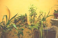 Plantes d'intérieur vertes mises en pot à l'intérieur photographie stock libre de droits