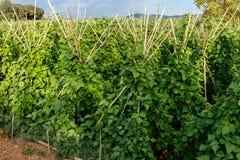 Plantes de haricot de jardin images stock