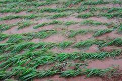 Plantes de millet image libre de droits