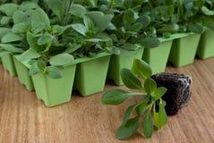 Plantes de pétunia dans le plateau de cellules (l'espace de copie) Photographie stock libre de droits
