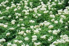 Plantes de pomme de terre fleurissantes blanches Photographie stock libre de droits